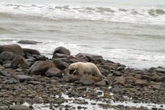 Polar bear on the beach Royalty Free Stock Image