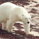 Polar Bear on the beach Royalty Free Stock Images