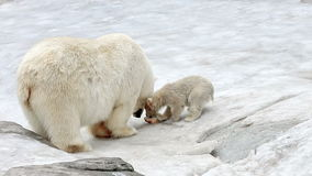 Polar bear and bear-cub feeding