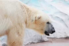 Polar Bear, Bear, Fauna, Arctic Stock Photography