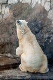 Polar bear. Beautiful playful polar bear sitting with its back to camera Stock Photo