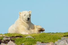 Polar Bear Bed 1. Lazy Canadian Polar Bear wallowing, stretching and sleeping on a grass patch in the arctic tundra of the Hudson Bay near Churchill, Manitoba in royalty free stock image