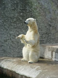 Polar bear-beggar Royalty Free Stock Images