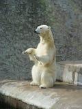 Polar bear-beggar royalty free stock images