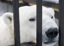 Polar bear behind bars in cage Stock Photo