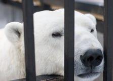 Polar Bear Behind Bars In Cage Stock Photo