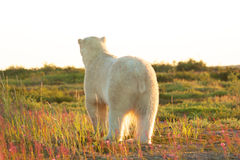 Polar Bear from behind 1. Canadian Polar Bear walking into the sunset in the dusk of the colorful arctic tundra near Churchill, Manitoba in summer stock images