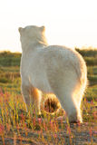 Polar Bear from behind in the sun Stock Image