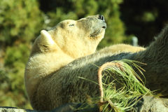 Polar Bear Belly Up Royalty Free Stock Images