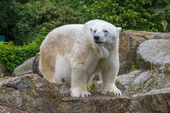 Polar bear in Berlin Zoo Royalty Free Stock Image