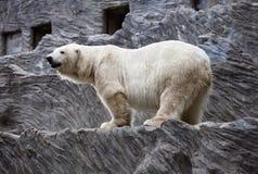 Polar bear. A big polar bear in a zoo stock image