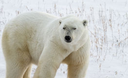 Polar Bear Bruiser Royalty Free Stock Photos