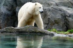 Polar bear in the Budapest Zoo. Zoos have an important role of preserving endangered species in the world Royalty Free Stock Photography