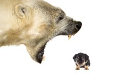 Harassement of a small dog by a polar bear. Polar bear bullying a small dog on a white background royalty free stock photography