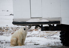The polar bear came very close to a special car for the Arctic safari. Canada. Churchill National Park. An excellent illustration for travel agencies royalty free stock photos