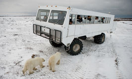 The polar bear came very close to a special car for the Arctic safari. Canada. Churchill National Park. An excellent illustration for travel agencies Royalty Free Stock Photography