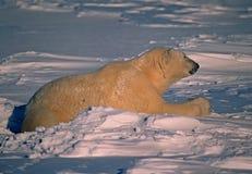Polar bear in Canadain Arctic. Large male polar bear lying in snow on Arctic tundra Stock Photo