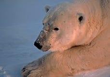 Polar bear in Canadain Arctic. Polar bear tight head shot Stock Images