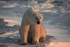 Polar bear in Canadian Arctic. Large male polar bear sitting on Arctic tundra Royalty Free Stock Photo