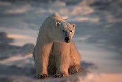 Polar bear in Canadian Arctic. Large male polar bear sitting on Arctic tundra Royalty Free Stock Photography