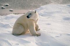 Polar bear in Canadian Arctic. Polar bear sitting on shore of Hudson's Bay Stock Photo
