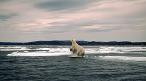 Polar bear in Canadian Arctic. Polar bear leaping between ice floes,Wager Bay,Canadian Arctic Royalty Free Stock Photography