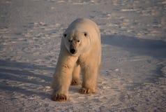 Polar bear in Canadian Arctic. Polar bear on frozen tundra Royalty Free Stock Image