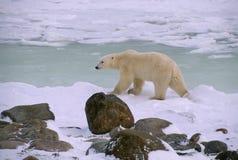 Polar bear in Canadian Arctic. Polar bear walking along shoe of Hudson's Bay waiting on freeze up Royalty Free Stock Images