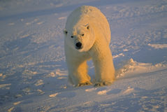 Polar bear in Canadian Arctic. Large male polar bear moving aggresively toward photographer Stock Images