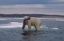 Polar bear in Canadian Arctic. Large male polar bear standing on sunken ice floe Stock Images