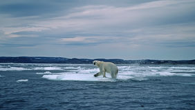 Polar bear in Canadian Arctic. Polar bear crossing ice floe during spring breakup Royalty Free Stock Photos