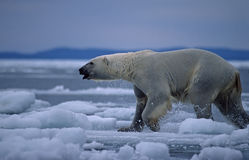 Polar bear in Canadian Arctic. Polar bear running across ice floe Stock Photo