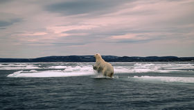 Polar bear in Canadian Arctic,spring breakup. Polar bear leaping between ice floes Royalty Free Stock Photography