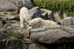 Polar bear. In captivity at the Berlin Zoological Garden royalty free stock photography