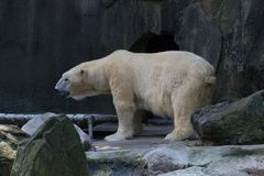 Polar bear in captivity. Polar bears fed almost exclusively of seals Royalty Free Stock Photography