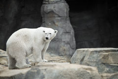 Polar Bear Cave Stock Photo