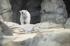 Polar Bear Cave Royalty Free Stock Image