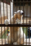 Polar bear in cell Stock Photo