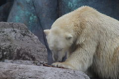 Polar bear chewing on bone. The endangered arctic bear chews on a bone in a Canadian environment. The polar bear is struggling due to climate change, hunting Stock Photo