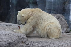 Polar bear chewing on bone. The endangered arctic bear chews on a bone in a Canadian environment. The polar bear is struggling due to climate change, hunting Stock Image