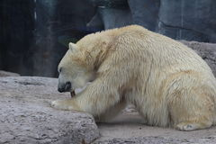 Polar bear chewing on bone. The endangered arctic bear chews on a bone in a Canadian environment. The polar bear is struggling due to climate change, hunting Royalty Free Stock Photos