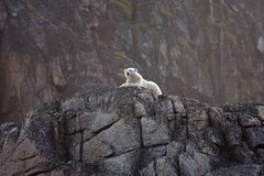 Polar bear on cliff. Polar bear on edge of cliff with rock face in background stock photo