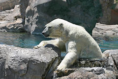 Polar Bear Climbing Out of the Water Stock Photo