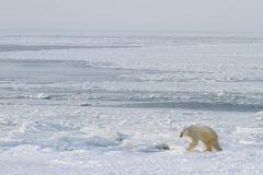 Polar bear climbs out of ice Royalty Free Stock Photos