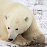 Polar bear. Close up head and shoulders image of a polar bear, resting on the frozen tundra royalty free stock image