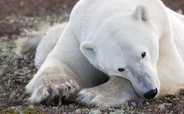 Polar bear. Close up image of a polar bear laying on the tundra floor. Autumn in Churchill, Manitoba, Canada stock photography