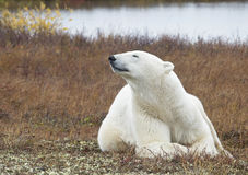 Polar bear. Close up image of a polar bear laying on the tundra floor, catching a scent. Autumn in Churchill, Manitoba, Canada royalty free stock image