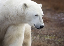 Polar bear. Close up image of a polar bear with a mischievous look in his eye. Autumn in Churchill, Manitoba, Canada stock images