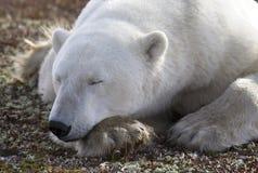 Polar bear. Close up image of a polar bear resting on the tundra. Churchill, Manitoba, Canada stock photography