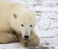 Polar bear. Close up image of a polar bear, resting on the tundra, and licking her paw stock images